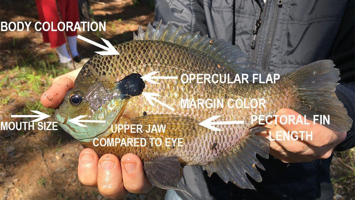 identifying-sunfish-species.jpg