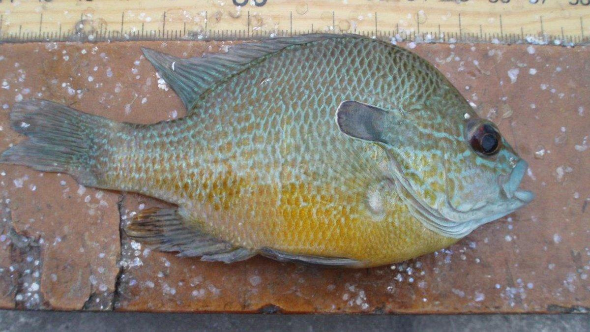 longear-sunfish.jpg