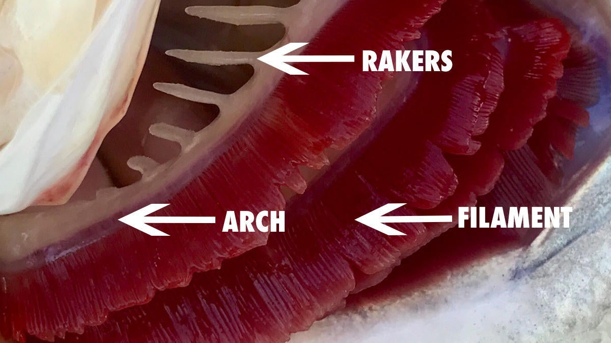 fish-gill-anatomy.jpg
