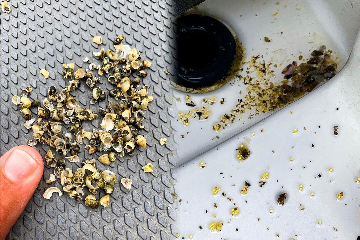 shellcracker-shells-spitup-in-livewell.jpg