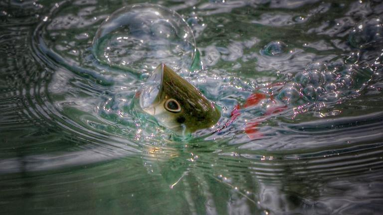 How to Fish Topwater Poppers in Cover for Bass