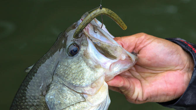 Beef Up Your Wacky Rig Bass Fishing - Wired2Fish com